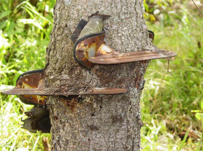 Забытые коньки со временем вросли прямо в ствол дерева.