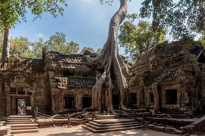 В древнем храме Та Пром, который находится в Камбоджа, деревья постепенно оплетают корнями сооружения, возвращая себе потерянную ранее территорию.