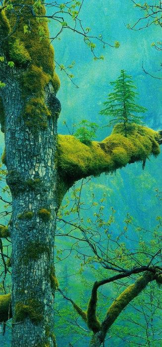 Маленькое хвойное дерево, которое каким-то образом проросло среди мха на ветвях.