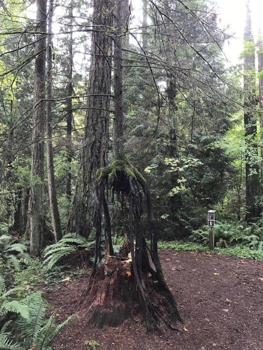 Молодое дерево выросло из пня, который со временем разрушился.