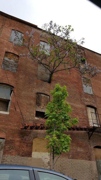 В поисках света, ветка дерева проросла через заколоченное окно на высоте третьего этажа.
