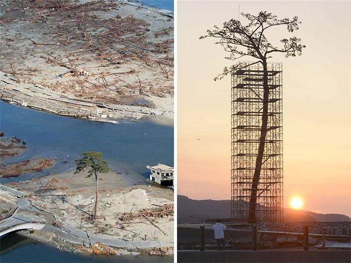 Чудо-сосна – единственное уцелевшее дерево из огромного леса, пережившее цунами в префектуре Иватэ в Японии.