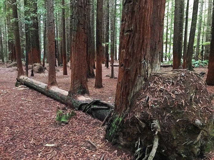 Упавшее дерево с обнаженными мощными корнями просто создало 4 собственных копии и продолжило расти дальше.