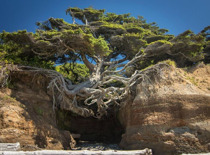 Необыкновенное «Дерево жизни» растет в национальном парке Олимпик в Вашингтоне.