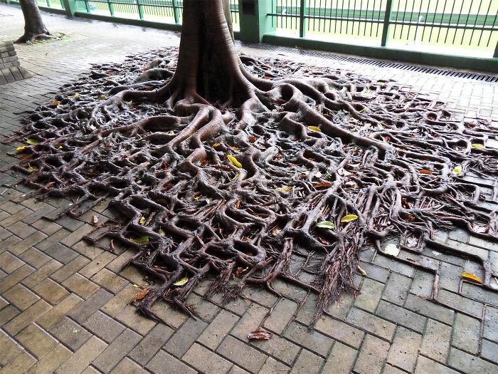 Это дерево в буквальном смысле имеет «квадратные корни», которые проросли наружу не смотря на тротуарную плитку.