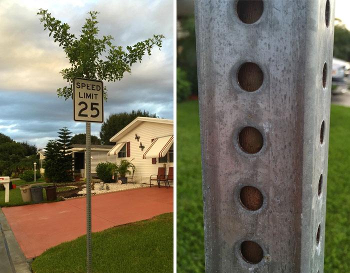 Дерево, проросшее внутри дорожного знака, обзавелось своеобразным железным корсетом.