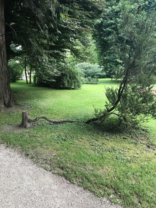 Срубленное дерево, которое отказывается умирать.