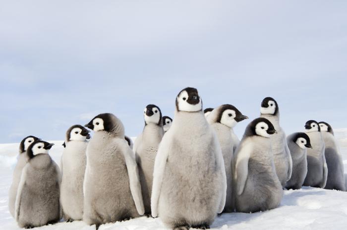 Ясельная группа пингвинят. Автор фотографии: Mint Images.