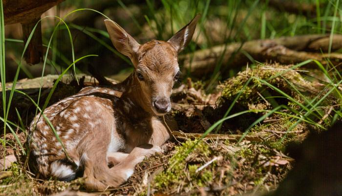 Молодой оленёнок. Автор фотографии: Bjоrn Reibert.
