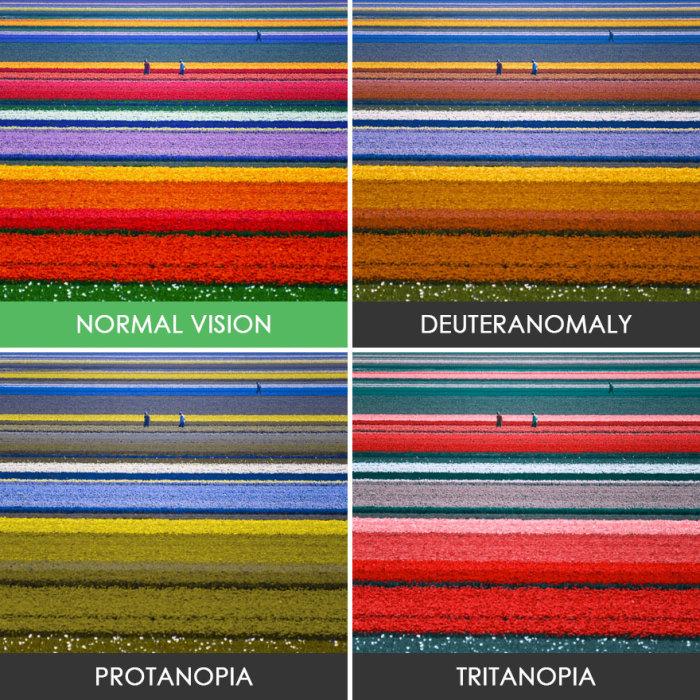 Эти разноцветные полоски - тюльпаны.