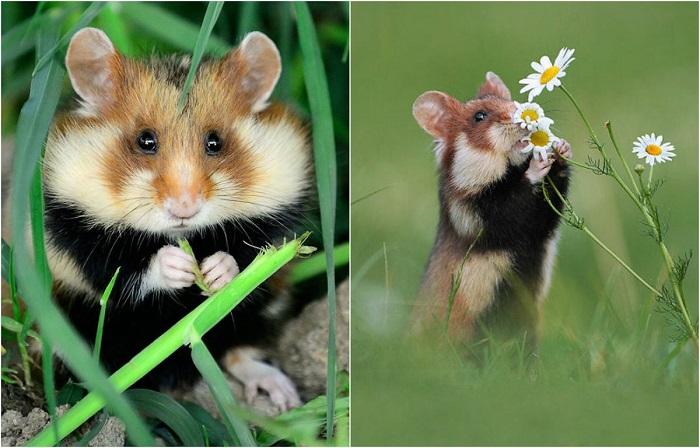 Милые и очаровательные дикие хомячки.