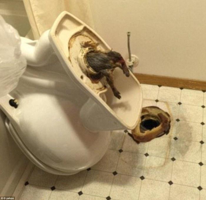 Огромная крыса, которая пыталась пробраться в гостиничный номер, но застряла в канализации.