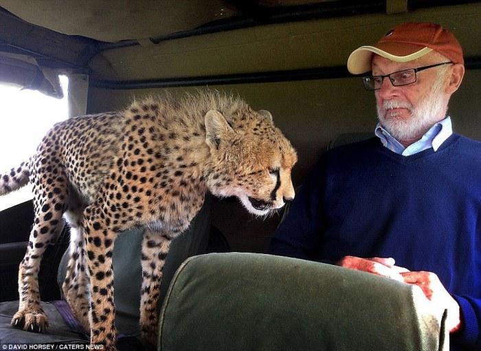 Дикий гепард запрыгнул на заднее сидение джипа, заставив ирландского туриста Мики МакКолдина потерять дар речи, во время сафари в заповеднике Масаи-Мара в Кении.
