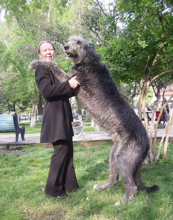 Порода одна из самых больших в мире охотничьих собак.