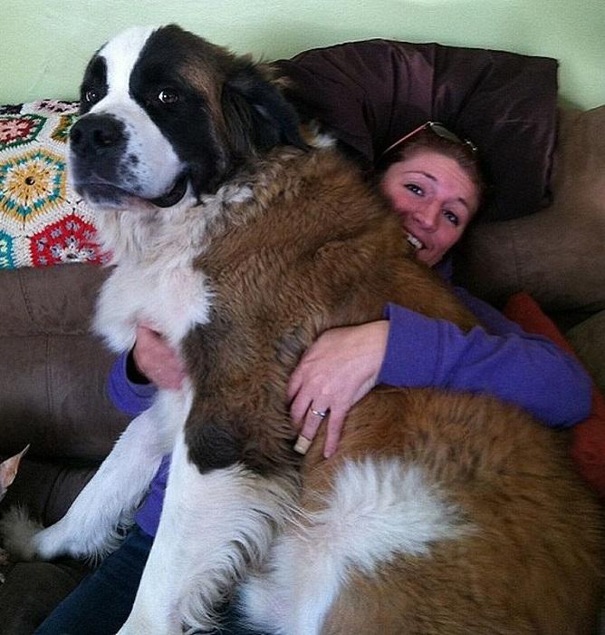 Порода гигантских собак, родом из Арагона, Испания.