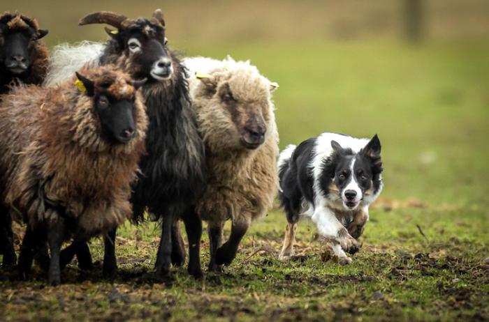 3-е место в категории «Собаки на работе» - Питер Стеффенсен (Peter Steffensen), Дания.