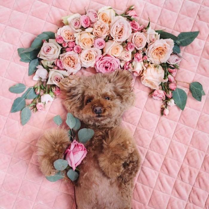 Фотогеничный той-пудель по кличке Cookie  в цветочной феерии.