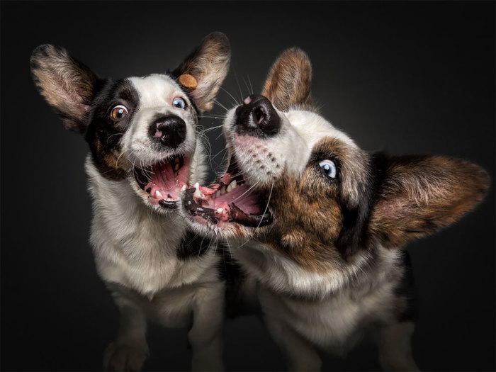Небольшим активным собачкам очень понравилась «вкусная» игра с фотографом.