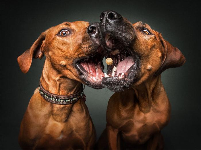 Высокоскоростная съемка позволяет точно зафиксировать момент, когда собаки ловят или пропускают угощения.