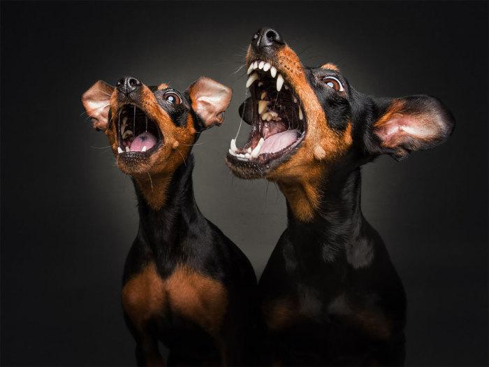 Паника, радость и ожидание – все это легко можно распознать на мордочках фотографируемых собак.