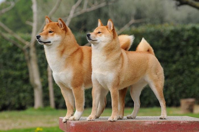 Небольшие рыжие собаки, выведенные в Японии, в древности использовались в качестве охотников. /Фото: pikabu.ru