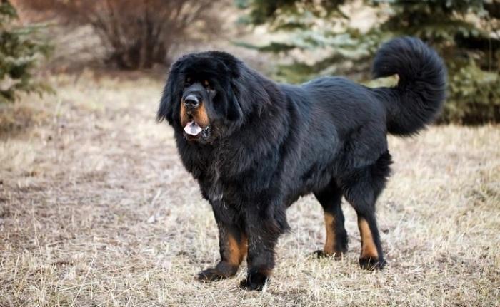 Собаки-помощники этой редкой породы мало изменились с давних времен благодаря географической изоляции. /Фото: petstime.ru
