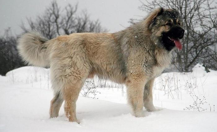 Представители породы собак, произошедшей от тибетских догов, являются отличными пастухами, которые способны самостоятельно охранять и пасти стадо. /Фото: egida.by