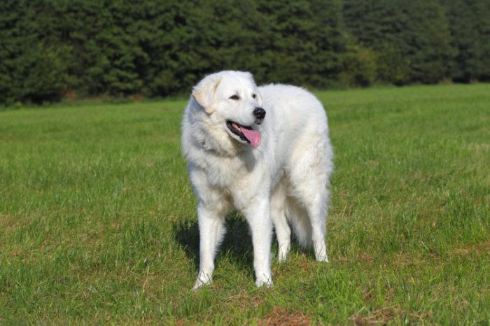 Мощные белые собаки издревле считаются надежными охранниками, поэтому использовались для охраны скота и караванов, реже для охоты. /Фото: best-top10.ru