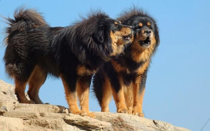 Археологические раскопки предоставили доказательства того, что собаки этой аборигенной породы древнее тибетских мастифов! /Фото: petzona.ru