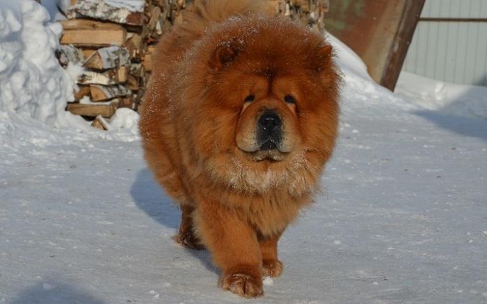Охотничьи собаки с внешностью льва разводились в буддийских монастырях, где монахи тщательно следили за чистотой породы. /Фото: 1zoom.ru
