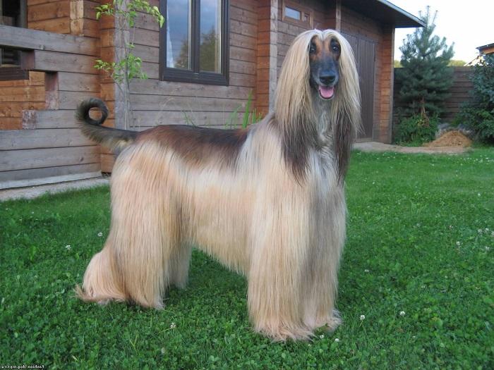 Сильные и выносливые собаки с длинной шелковистой шерстью зачастую выполняли несколько обязанностей – служили охранниками и помощниками на охоте. /Фото: animalsik.com