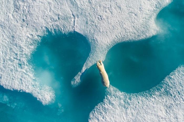 Нанук - белый медведь в ледяной красоте. Автор фотографии: Florian Ledoux.