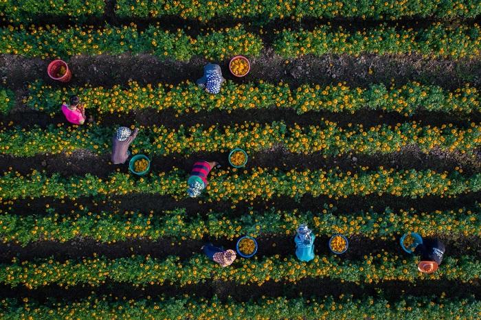 Плантации желтых цветов. Автор фотографии: seksan saowarod.
