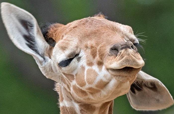 Новорожденный жираф в зоопарке Эрфурта в Германии. Фотограф Йенс Мейер (Jens Meyer).