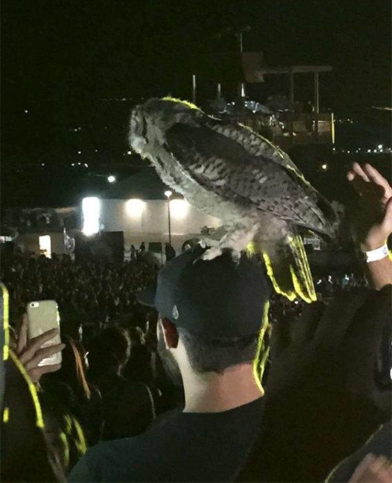 Во время концерта совенок приземлился прямо на голову зрителя.
