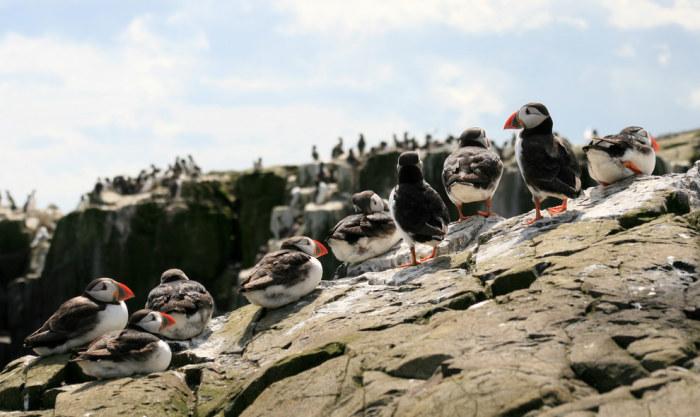 Птицы живущие в графстве Нортумберленд.