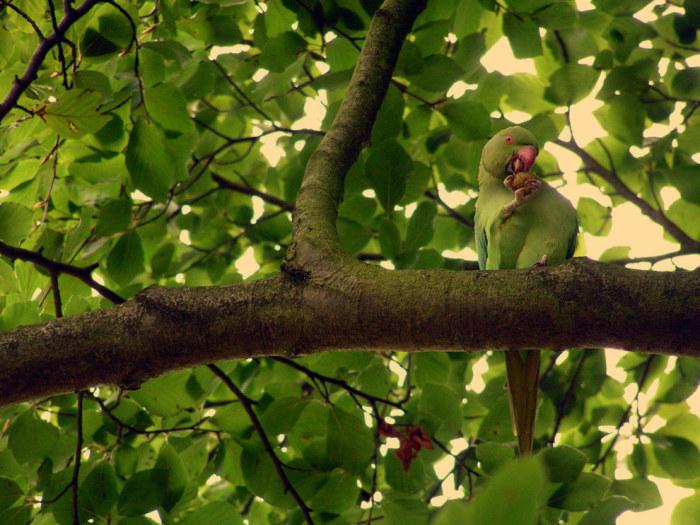 Попугаев можно встретить практически по всему Лондону.