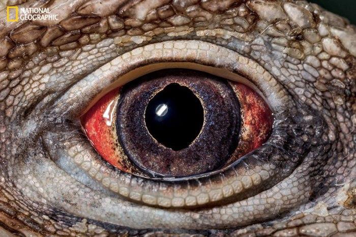 У глаз кубинской игуаны есть золотая радужная оболочка и красная склера.