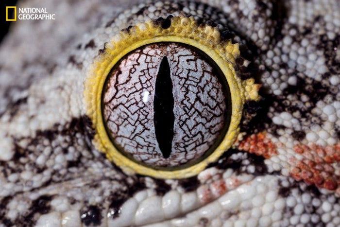Глаз крупного вида гекконов из рода Rhacodactylus.