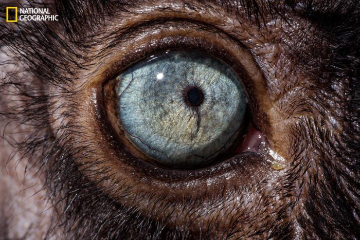 Чёрные лемуры имеют вперед направленные глаза, поэтому они являются обладателями стереоскопического зрения.