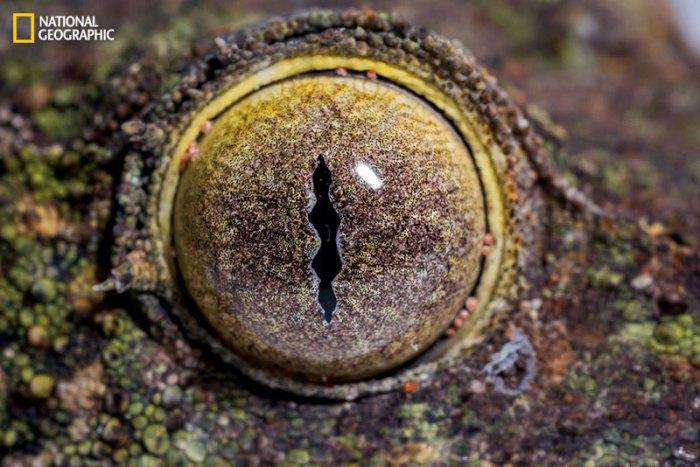 Глаз листохвостого геккона очень большой, что связано с ночным образом жизни рептилии.