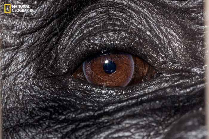 Глаз примата из рода гориллы.