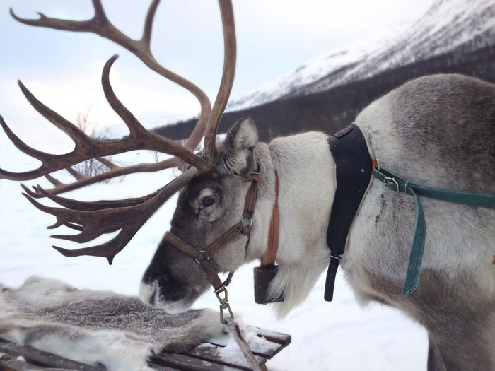 Самцы северных оленей сбрасывают свои рога в начале декабря, а самки — весной, поэтому все олени в упряжке Санта Клауса — девочки.