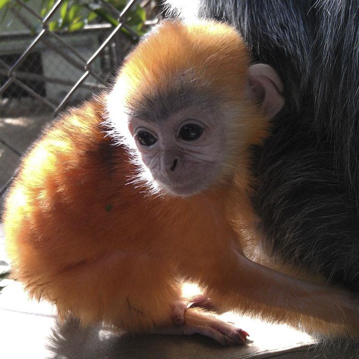 Детеныши лангурских обезьян рождаются с ярко-рыжим цветом, а вот у родителей цвет меха серебристо-серый.