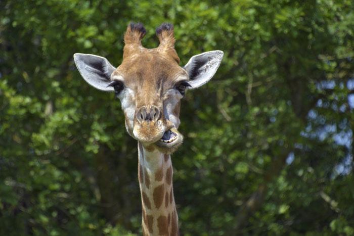 Жираф спит от 10 минут до 2 часов сна в сутки, потому что в течение ночи ему необходимо подниматься на ноги, чтобы попить или поесть.