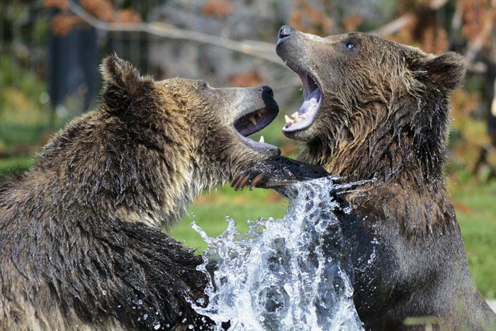 Все гризли — бурые медведи, но не все бурые медведи — гризли (гризли — это разновидность бурого медведя).