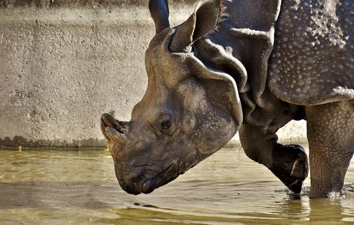 У носорогов рог отрастает быстрее, чем нам кажется, каждый год на восемь сантиметров.
