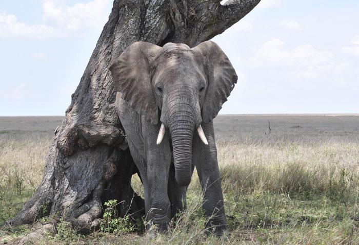Слоны, одни из немногих животных, которые могут распознать свое отражение в зеркале.