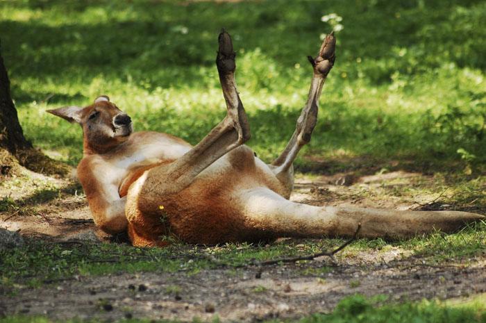 Мощные задние лапы кенгуру на суше двигаются одновременно, а в воде  перемещаются по отдельности.