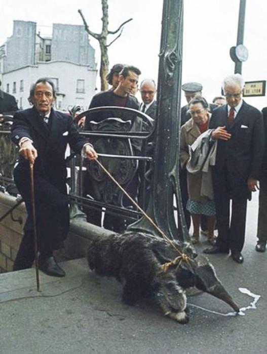 Мало кто знает, но питомцем эксцентричного художника был гигантский муравьед. Дали часто выгуливал своего экзотического друга на золотом поводке по улицам Парижа и являлся на светские приемы, держа его на плече, 1969 год.